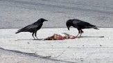 crows feeding on roadkill